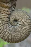 Close-up of an African elephants trunk