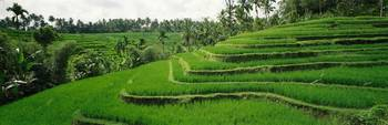 Rice Fields Bali Indonesia