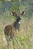Lesser kudu standing in a forest