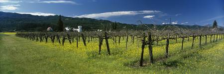 Mustard crop in a vineyard near St. Helena Napa V