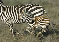 Side profile of a zebra and its foal running in a