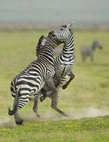 Two zebras fighting in a field