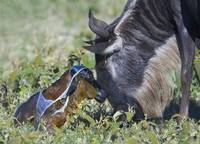Wildebeest with its newborn calf lying on a field