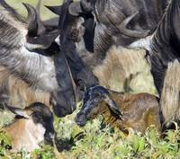 Two wildebeests and their newborn calf lying on a