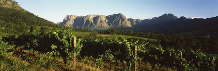 Vineyard with Groot Drakenstein mountains in the