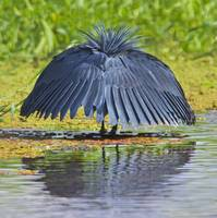 Black egret fishing in a lake