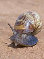 Close-up of a Giant African land snail