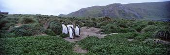 King Penguins Macquarie Island Australia