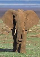 Close-up of an African elephant walking in a fiel