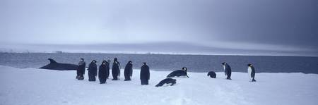 Emperor Penguins Ross Sea Antarctica