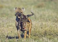 Hyena biting into a wildebeests skull