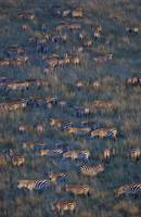 Herd of zebras grazing in a field