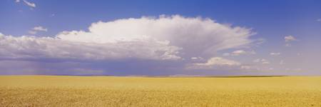 Wheat Field and Clouds WA