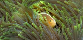 Close-up of a Skunk Anemone fish and Indian Bulb