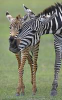 Zebra and its foal in a field