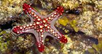 Close-up of a Sea Star