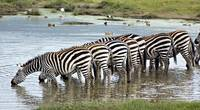 Herd of zebras drinking water in a lake