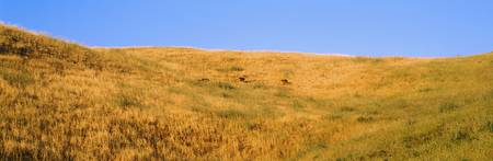 Hillside w/Yellow Grass and Deer CA