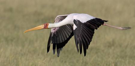 Yellow-billed stork flying above a field