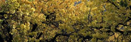 Yellow leaves on fruit trees in Capitol Reef Nati