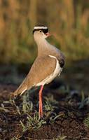 Close-up of a crowned plover