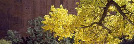 Backlit Cottonwood near Capitol Reef National Par