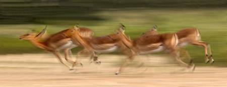 Herd of impalas running
