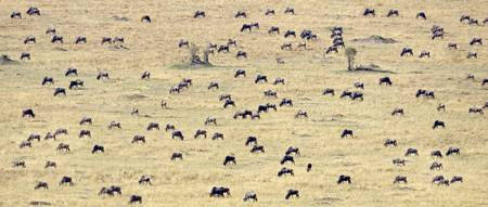High angle view of a herd of wildebeest on a fiel