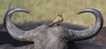 Red-billed oxpecker on a cape buffalos head