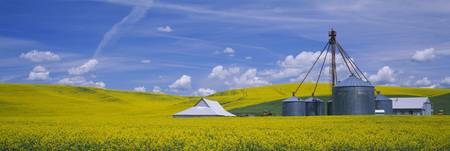 Shed in a mustard field