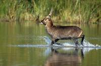Waterbuck running in water