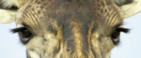 Close-up of a Maasai giraffes eyes