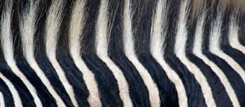 Close-up of a Greveys zebra stripes and mane