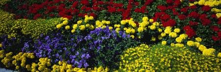 Colorful annual flowers in bloom