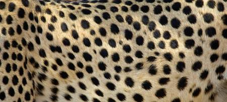 Close-up of the spots on a cheetah