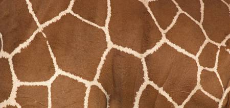 Close-up of a reticulated giraffe markings