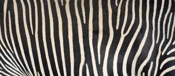Greveys Zebra Stripes