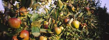 Close-up of apple trees in an orchard
