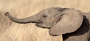 Close-up of a African elephant calf at play