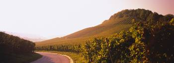 Road passing through vineyards