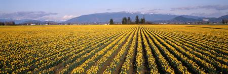 Daffodil Fields Mount Vernon WA