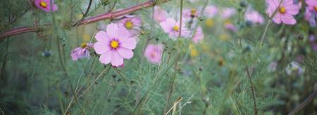 Close-up of Cosmos (Cosmos bipinnatus) flowers