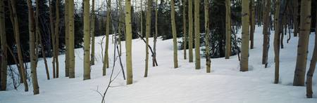 Spruce trees among quaking aspen trees in deep sn