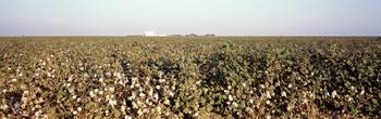 Cotton Field San Joaquin Valley CA