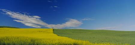 Wheat and Canola Fields WA