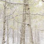 """Autumn Aspens With Snow CO"" by Panoramic_Images"