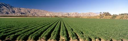Carrot crops in a field