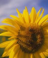 Close-up of a Sunflower (Helianthus annuus)