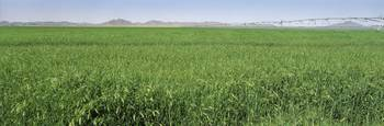 Wheat field AZ