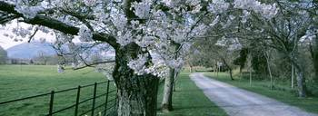 Cherry Trees and Path Killaney Ireland